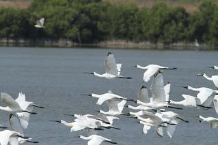 茄萣1-4號開發案,勢必衝擊來度冬的上萬水鳥及黑面琵鷺。圖為於茄萣濕地飛行的黑面琵鷺。攝影:鄭和泰(茄萣生態文化協會)