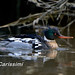 Red-breasted Merganser by BobC45