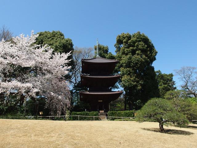 Pagoda and cherry blossoms @ Garden of Hotel Chinzanso Tokyo @ Bunkyo