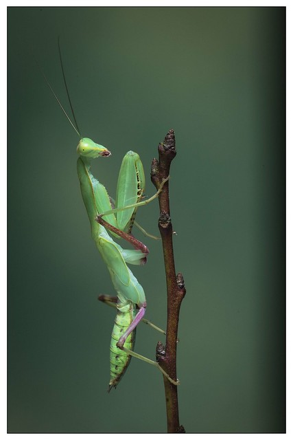 Indochina Preying Mantis