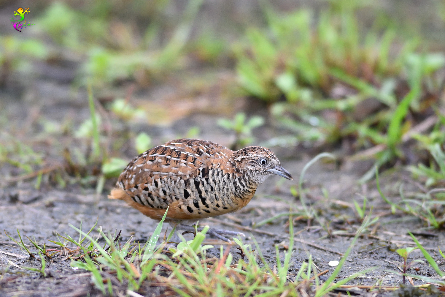 Barred_Buttonquail_9244