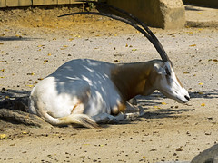 Memphis Zoo 08-31-2016 - Scimitar-horned Oryx 4