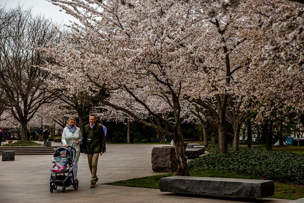 2017 华盛顿樱花-12
