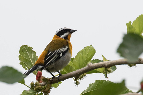 cuba birds lasterrazas artemisia westernspindalis spindalidae spindaliszena artemisa cu