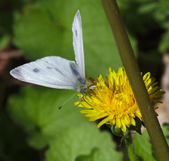 Small white on dandelion