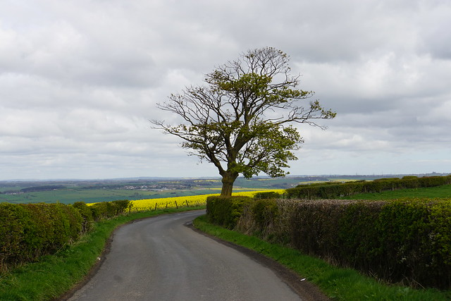 Lonely tree near High Mickley