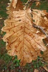 Quercus dentata (Daimyo Oak, Japanese Emperor Oak)