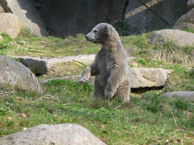 Nanuq, Zoo Mulhouse