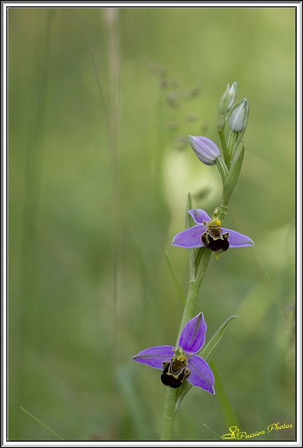 ophrys abeille (4)
