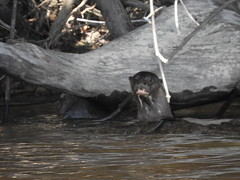 Brief encounter with the Giant Brazilian Otter, Giant Otter (Pteronura brasiliensis)