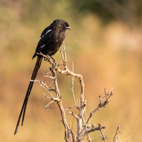 urolestesmelanoleucus magpieshrike krugerpark mpumalanga southafrica
