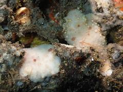 ツルガウミウシ Paradoris tsurugensis