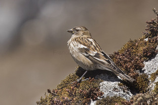 Plain Mountain-Finch - Eaglenest - India_FJ0A7876