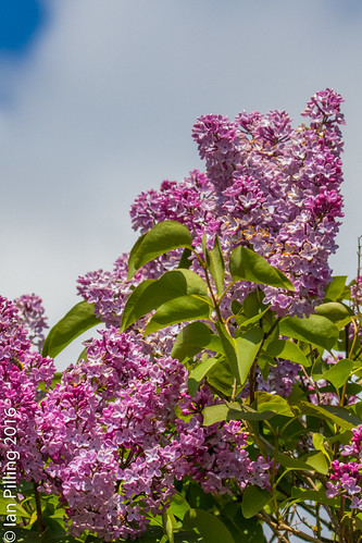 Lilac in Sping Bloom