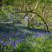 Bluebell Blanket by Sara Bury
