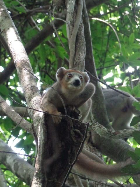 Juvenile Crowned Lemur, Sony DSC-H90