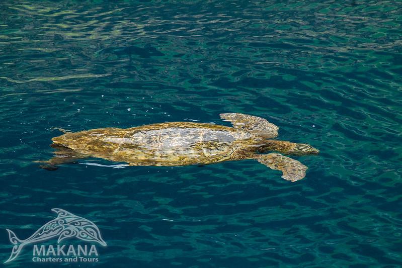 Green Sea Turtle relaxing on the Na Pali Coast