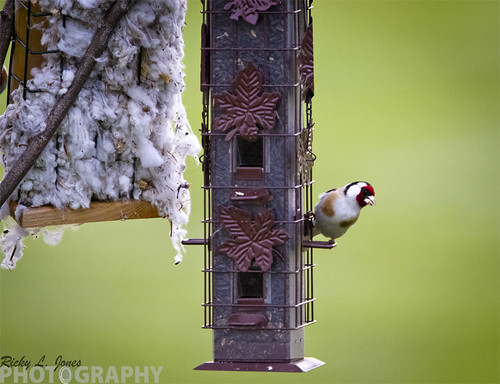 European Goldfinch by Ricky L. Jones Photography