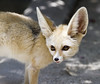 Akela the Fennec Fox
