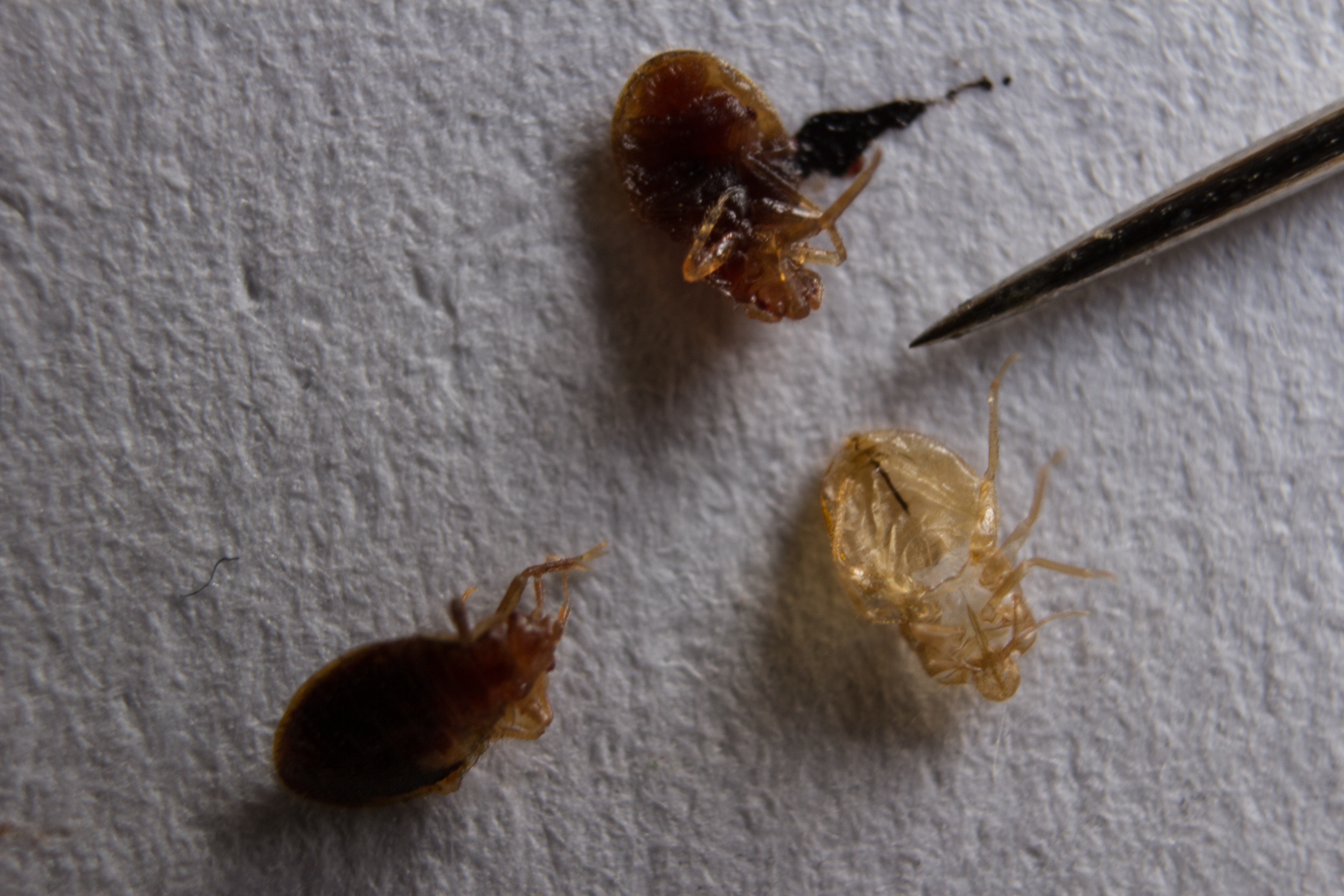 A Bed Bug What Is A Bed Bug Shell