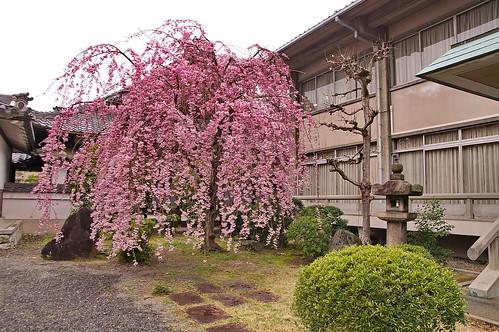 【写真】2013 桜 : 本隆寺/2020-05-19/IMGP9103