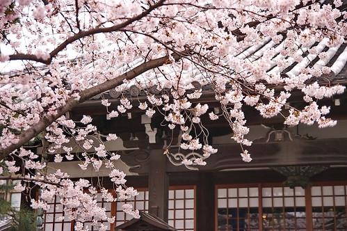 【写真】桜 : 本隆寺