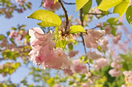 【写真】2013 桜 : 梅宮大社/2019-06-14/IMGP0206