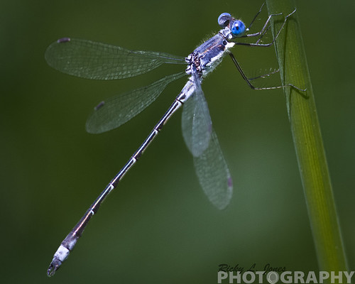 Blue Damselfly by Ricky L. Jones Photography