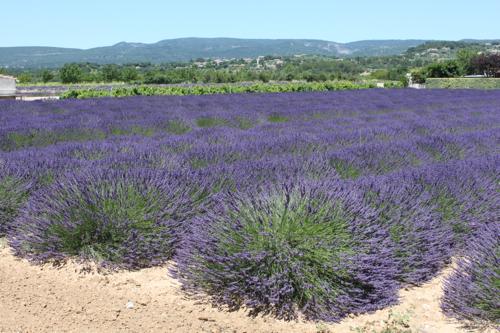 IMG_5946-Apt-lavender-field