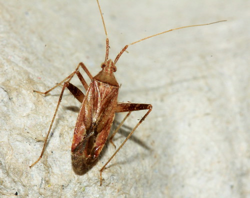 Phytocoris varipes  21653