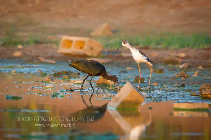Black-winged stilt&glossy ibis