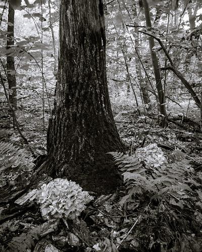 unitedstates pennsylvania fungus henofthewoods grifolafrondosa smcpda1855mmf3556alwr blueknobsp