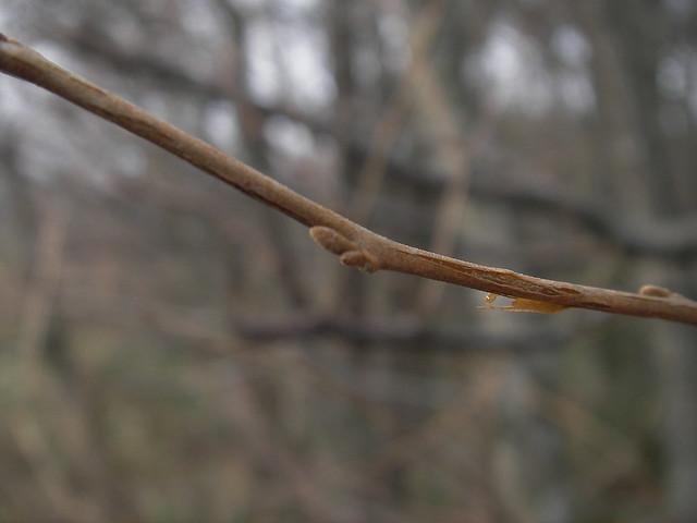 予備の冬芽を持つ,エゴノキ.