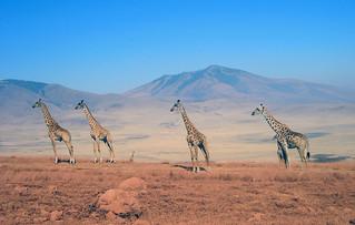 Vier Giraffen (Ngorongoro)
