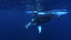common bottlenose dolphin(0.0), dolphin(0.0), animal(1.0), marine mammal(1.0), whale(1.0), ocean(1.0), marine biology(1.0), humpback whale(1.0),