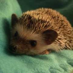 Rosemary the Hedgehog