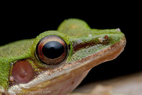 White Lipped Frog (Hylarana labialis) IMG_3315 copy