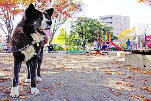 Akita Dog, Taro in The Park / 秋田犬