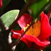 Red Camellia Flowers - 2