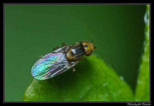 Trachysiphonella ruficeps/scutellata