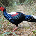Swinhoe's Pheasant (Richard Foster)