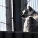 彼方へのまなざし - Ring-tailed lemur in the sun -