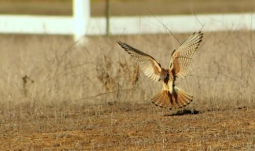 sandiego falcon americankestrel kestrel encinitas sparrowhawk falco sandiegocounty falcosparverius sanelijolagoon coastalmarsh