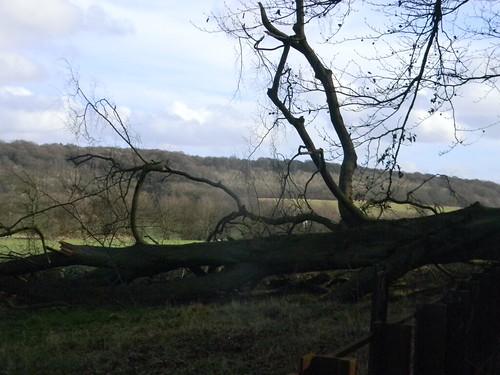 Fallen tree, Chequers