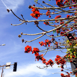 Coral Tree flowers reaching