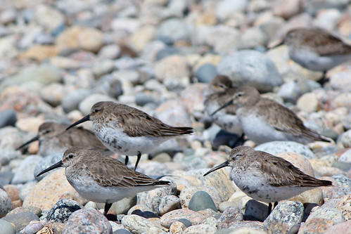 Dunlins getting some rest