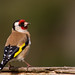 Goldfinch by Danny Gibson