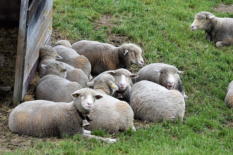 Sheep 17.04 (3)