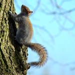 Squirrel in Avenham Park