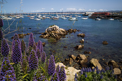 Pride of Madeira and sea lions, Monterey Harbor
